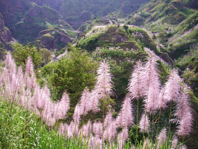 Sugar Cane in bloom on Santo Antao Island