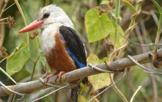 Kingfisher Eisvogel auf den Capverden