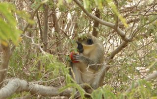 Green monkey or Grivet monkey on Boa Vista island